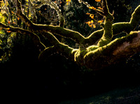 Mossy tree catching the light