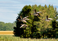 Geese taking off in the national park at xxx