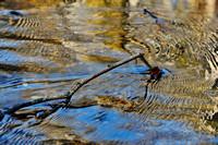 A twig enjoying the blue and gold ripples