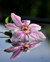 Clematis in a reflective mood