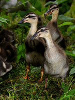 Ducklings off for a walk in the bushes