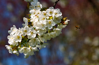 Cherry blossom with approaching bee